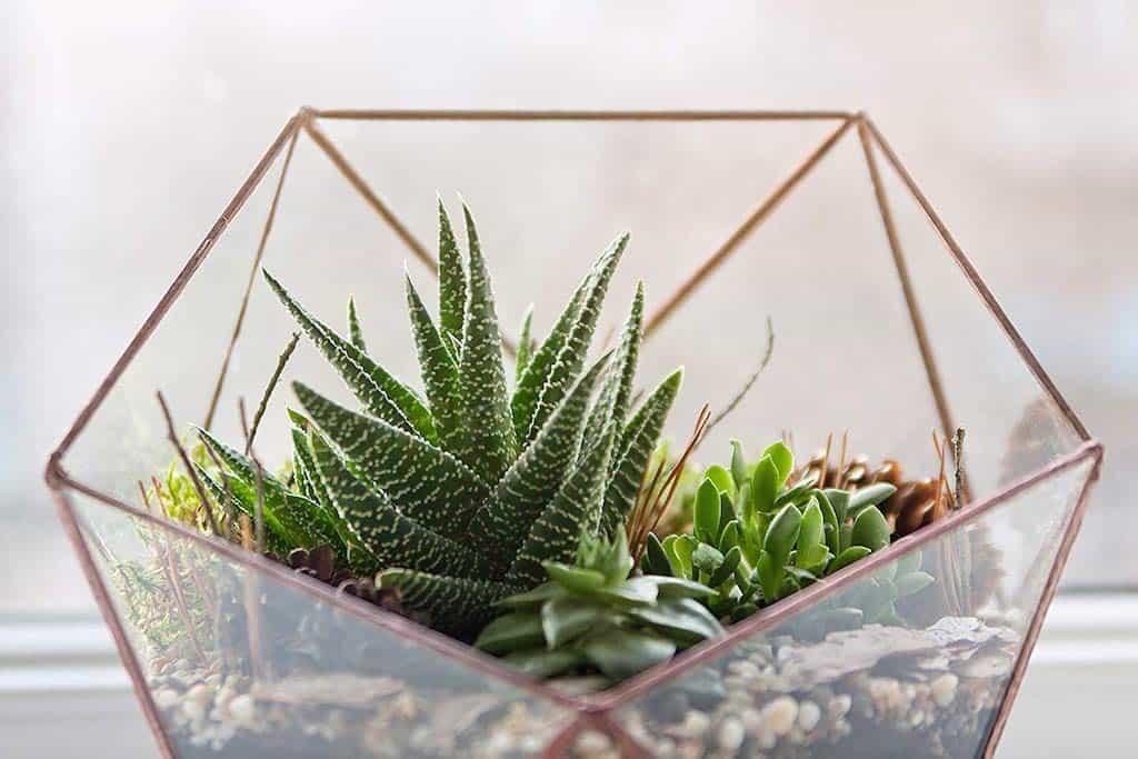 Live Succulent Plant