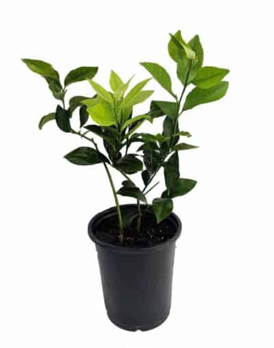 meyer lemon tree plant: fruit gift idea for him on 4 year wedding anniversary