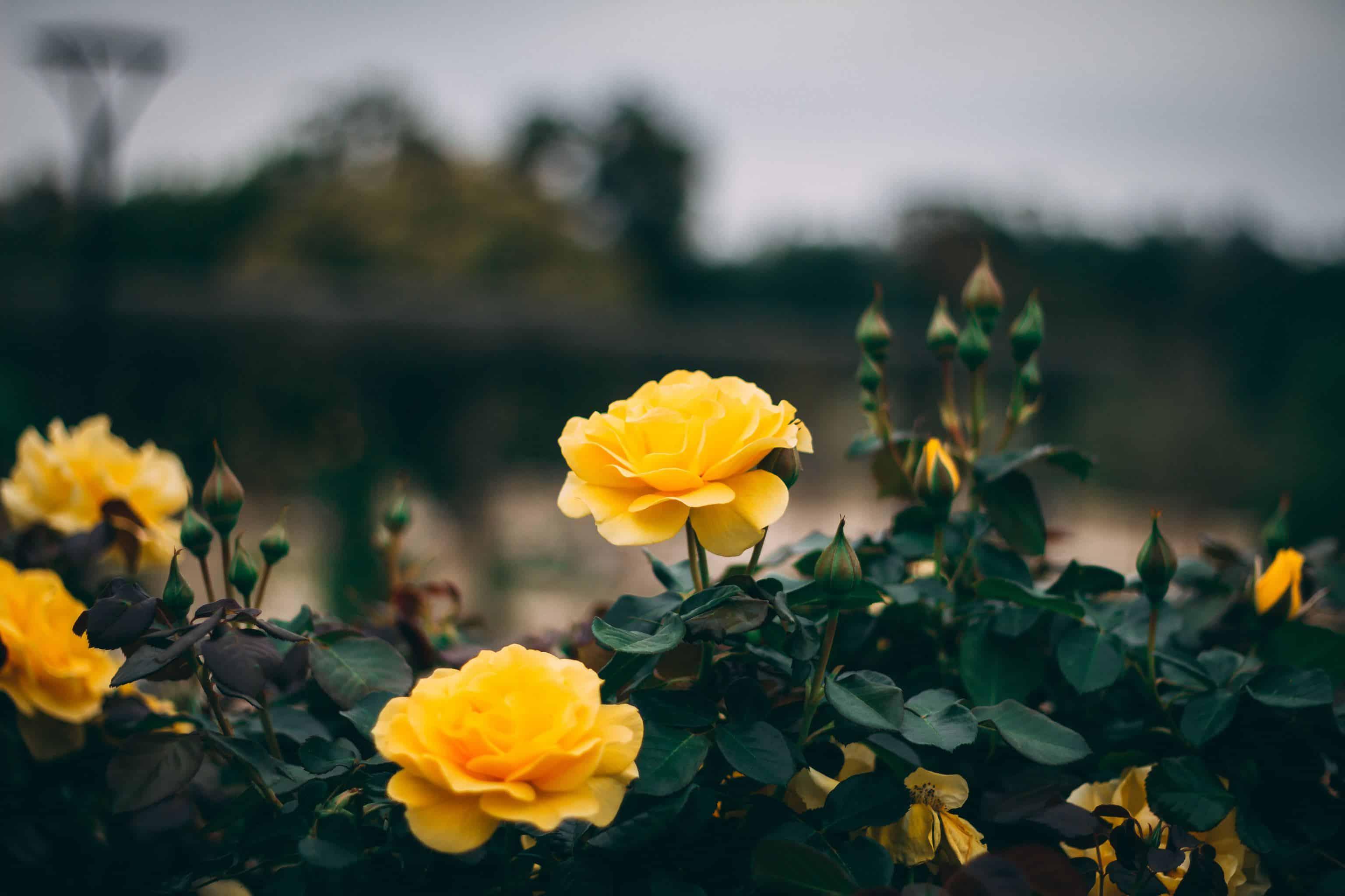 yellow roses: flower of 50 year wedding anniversary