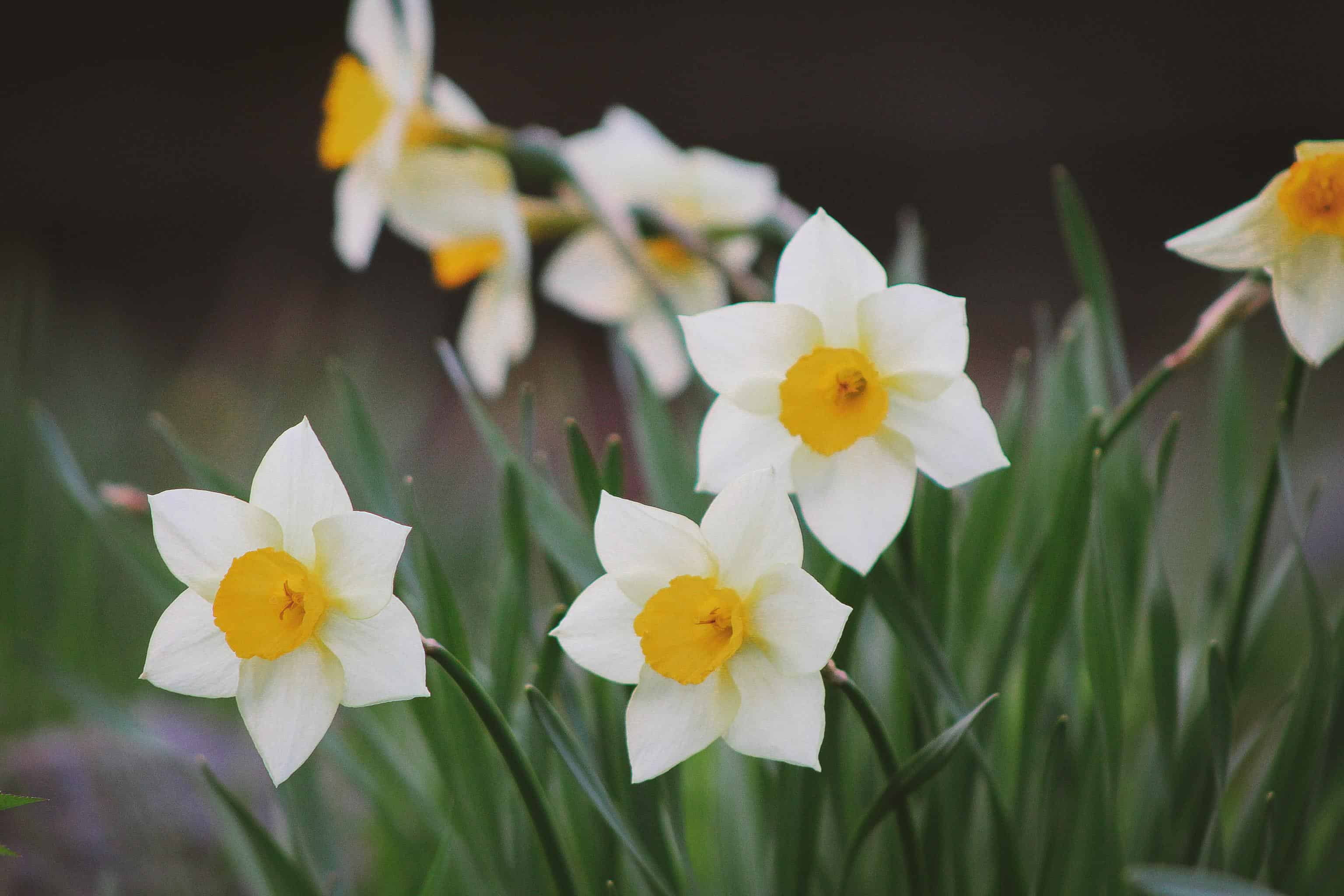 flowers of 10 year anniversary: daffodils