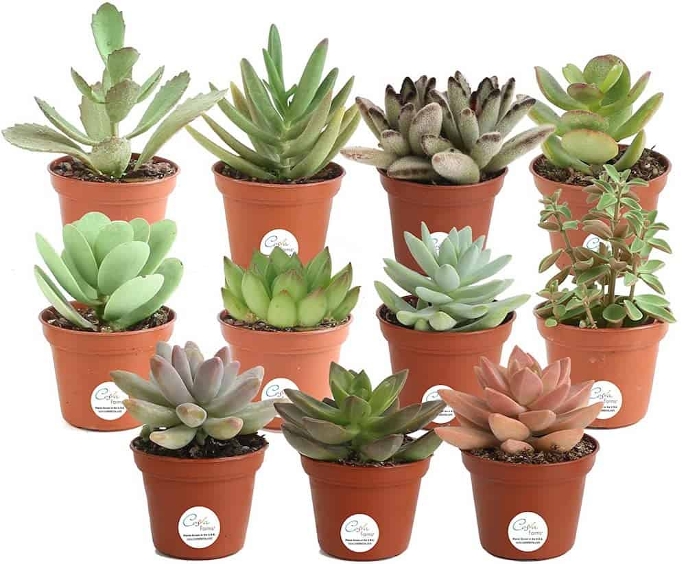 Mini Succulents Fully Rooted Live Indoor Plant - Galentines Gift For Best Friend